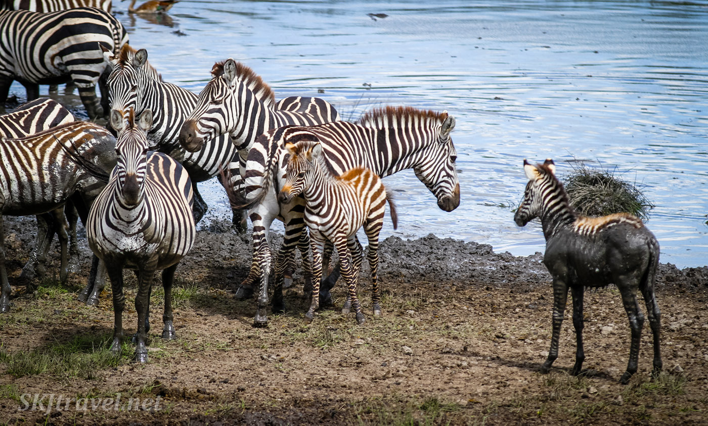 Lost baby zebra watching other zebras crossing the river. Ndutu, Tanzania.