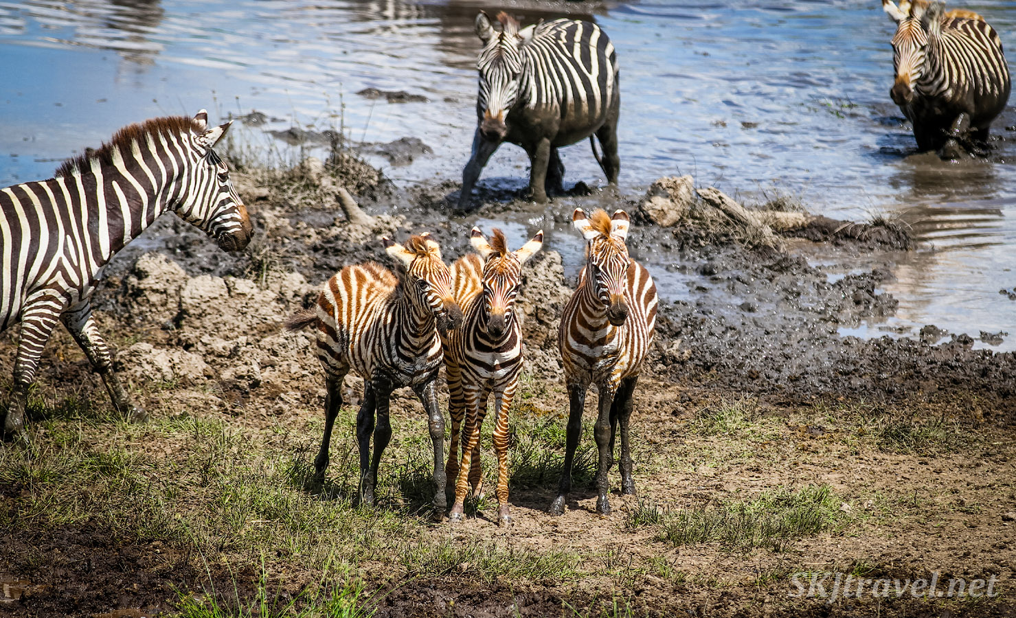 Trio of baby zebra, their stripes still red with youth, standing near water's edge. Ndutu, Tanzania.