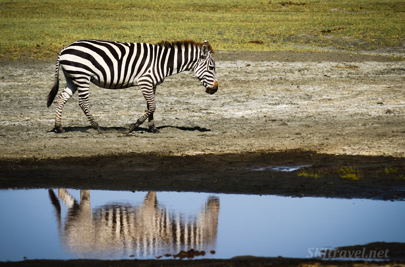 Lone zebra with its reflection in the water. Ndutu, Tanzania.
