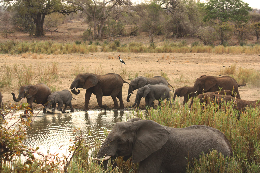 Elephants crossing the Timbavati River and a saddlebilled stork on the shore at the Ratel Pan Bird Hide, Kruger Park, South Africa.
