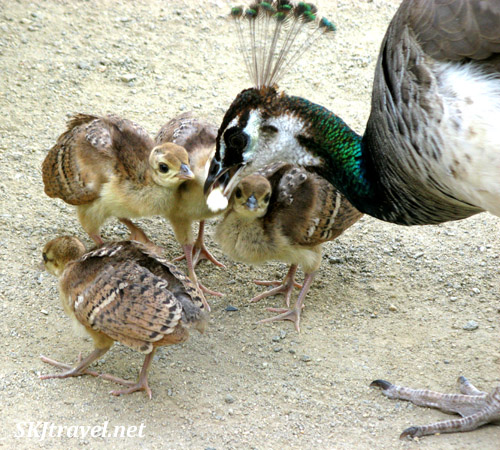 Peahen and chicks, little baby peering out from under her chin. Prague.
