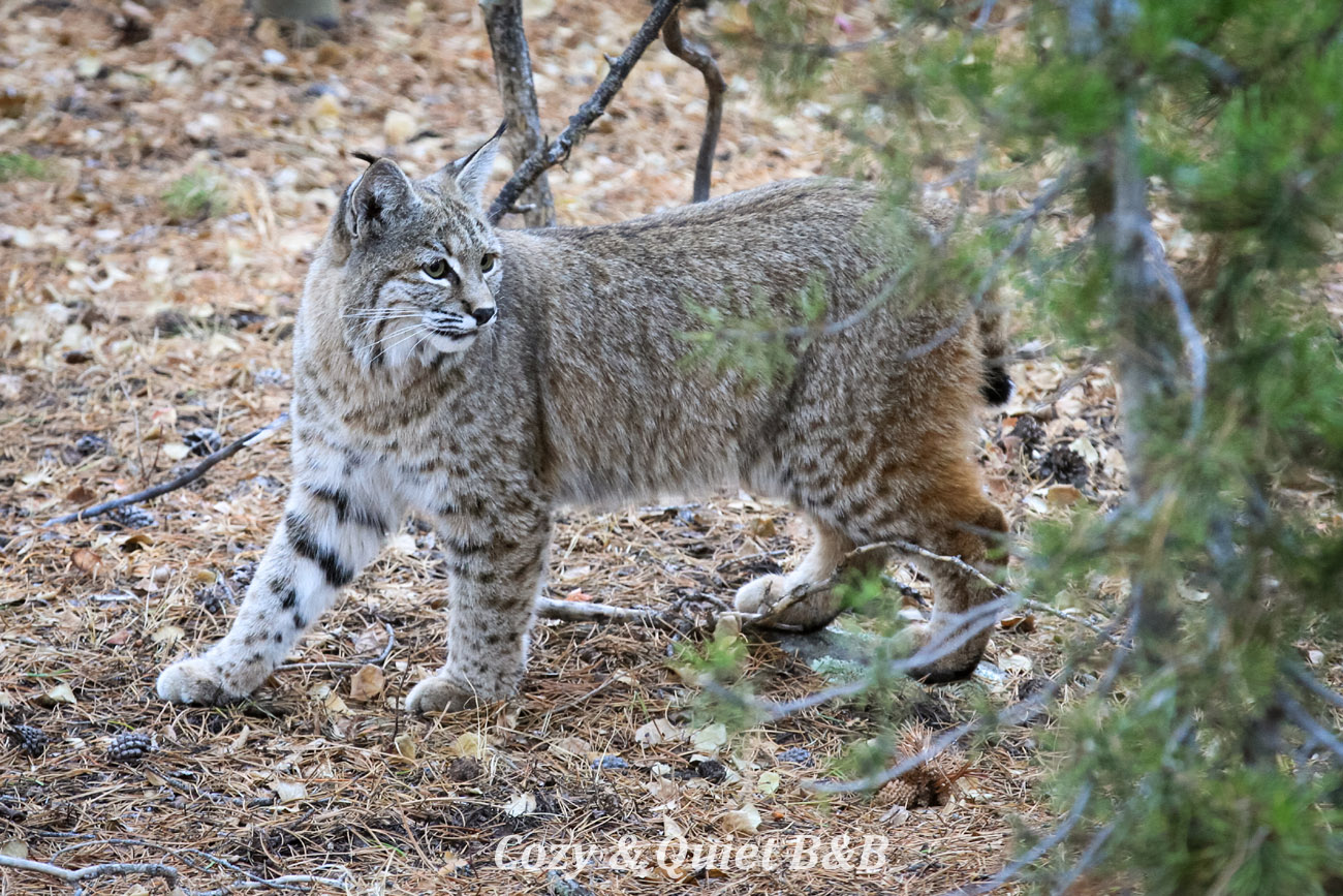 Bobcat in the spring, walking through my backyard in Nederland, Colorado.