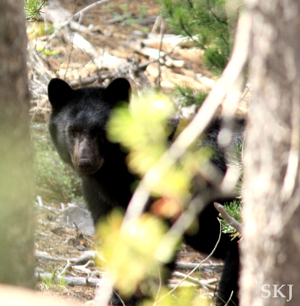 Black bear peeking through the trees in my yard, Nederland, Colorado.