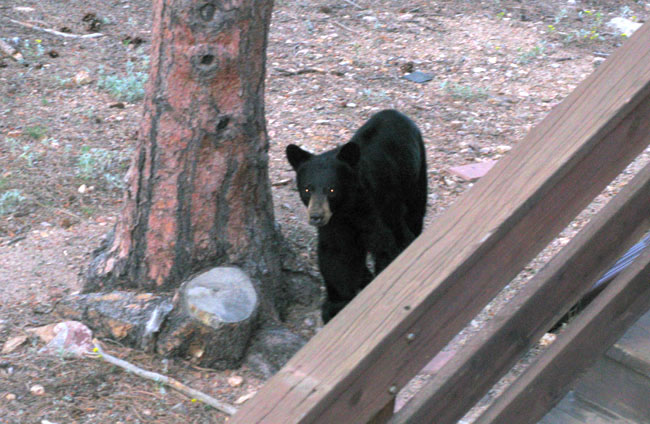 Small black bear in my backyard, Nederland, Colorado.