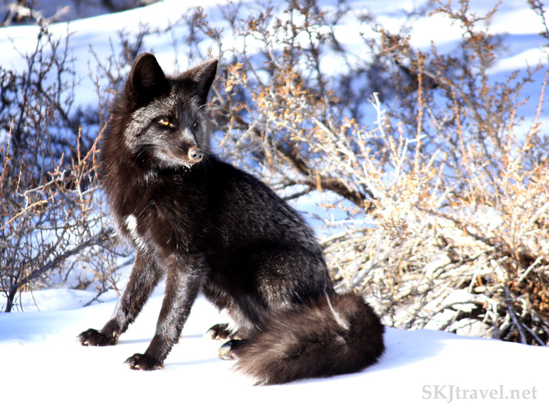 Silver fox in the snow in my backyard, Nederland, Colorado.