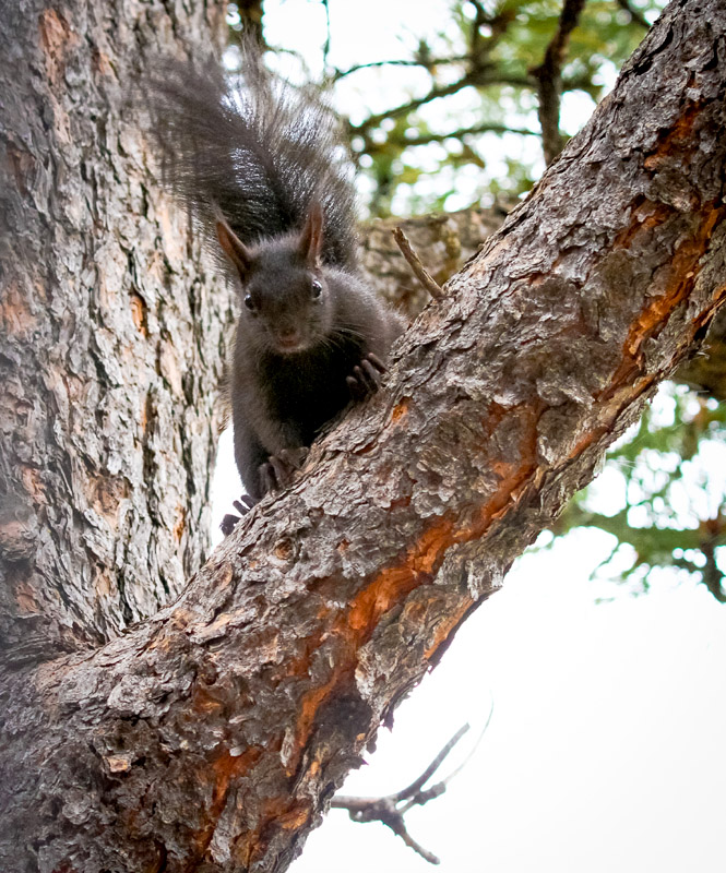Abert's squirrel on a tree in my backyard, Nederland, Colorado.