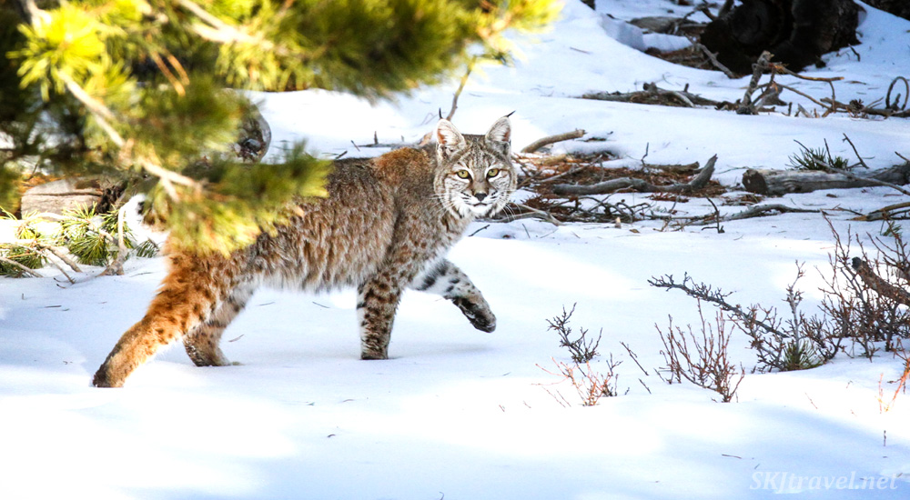 Bobcat in the snow, walking through my backyard in Nederland, Colorado.