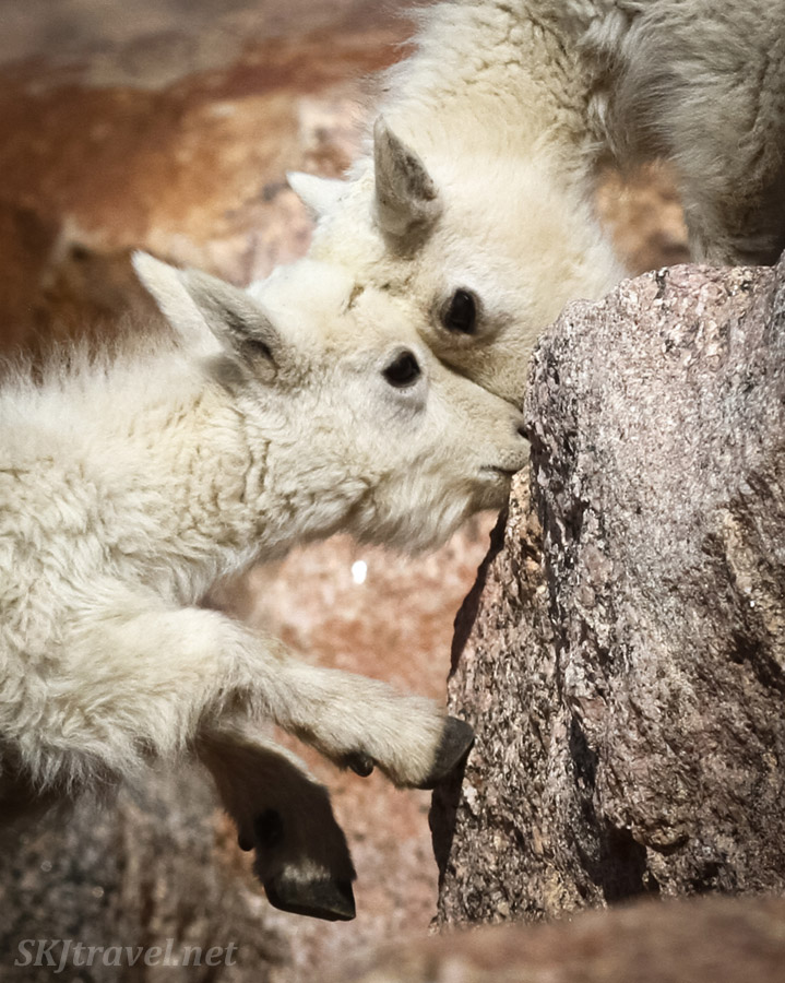 Baby mountain goat pair, one licking a rock, at the top of Mount Evans, Colorado.