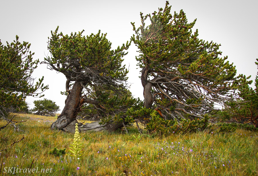 Wind-sculpted bristlecone pine trees on the border of treeline on Kingston Peak 4x4 route, Colorado