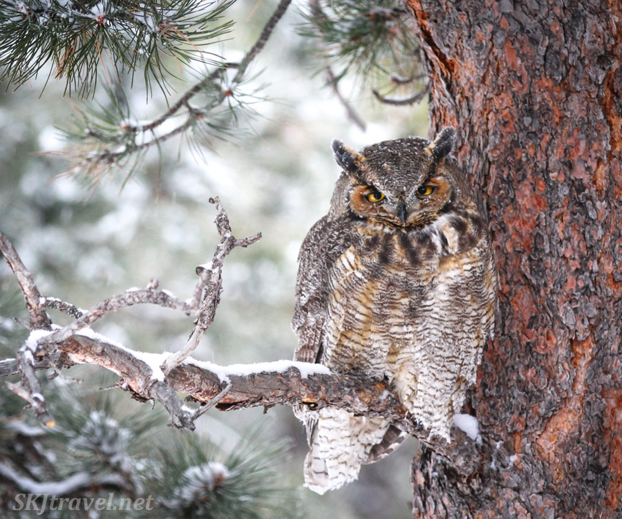 Great horned owl sleeping on a snowy morning in a tree in my backyard, Nederland, Colorado.