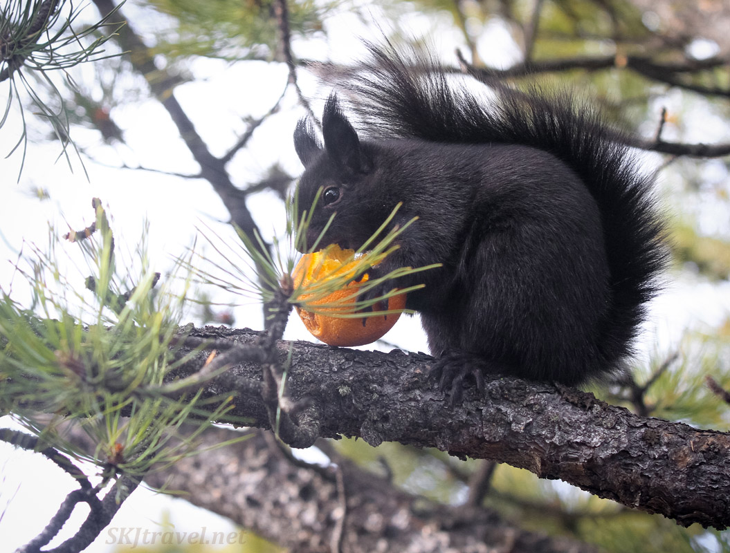 Abert's squirrel eating an orange in a tree, Nederland, Colorado.