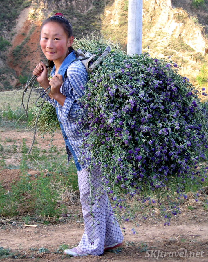 Pan-Pan coming home at dawn with a load of alfalfa on her back in the rural village of Dang Jiashan, Shaanxi Province, China.