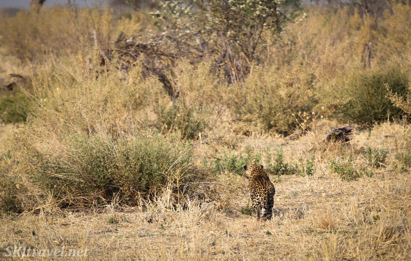 Female leopard disappearing into the bush. Savuti, Botswana. Leopardess.
