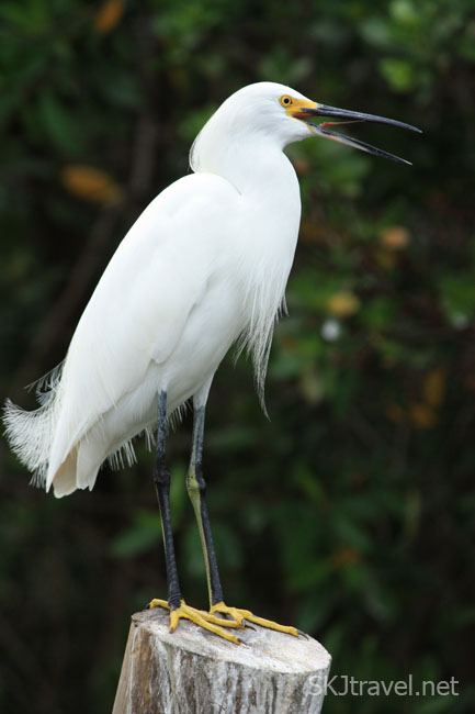 White bird with yellow feet, Ixtapa, Mexico. Photo by Shara Johnson