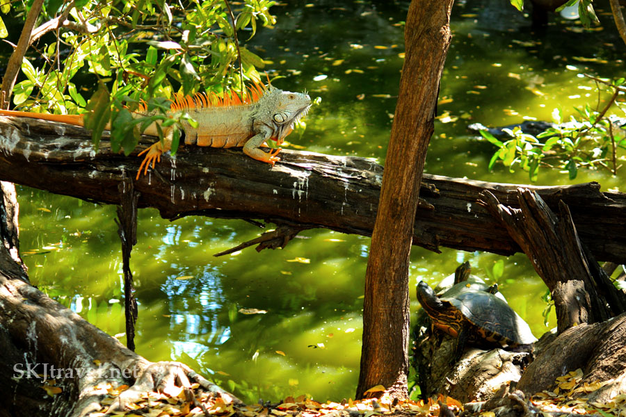 Very large iguana with orange mane and tail sitting on a fallen tree. Photo by Shara Johnson