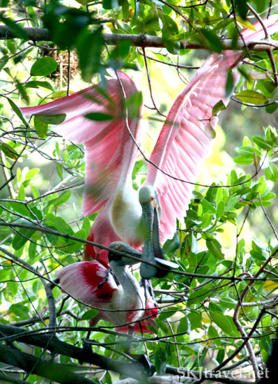 Two pink spoonbill birds in a mating ritual, the male biting the female's head, Ixtapa, Mexico. Photo by Shara Johnson