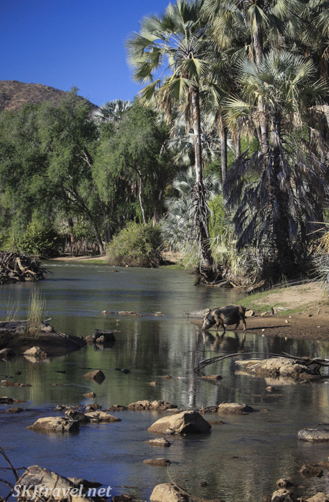 A big drinking water at the edge of the Kunene River, near Epupa Falls, Kaokoland, Namibia.