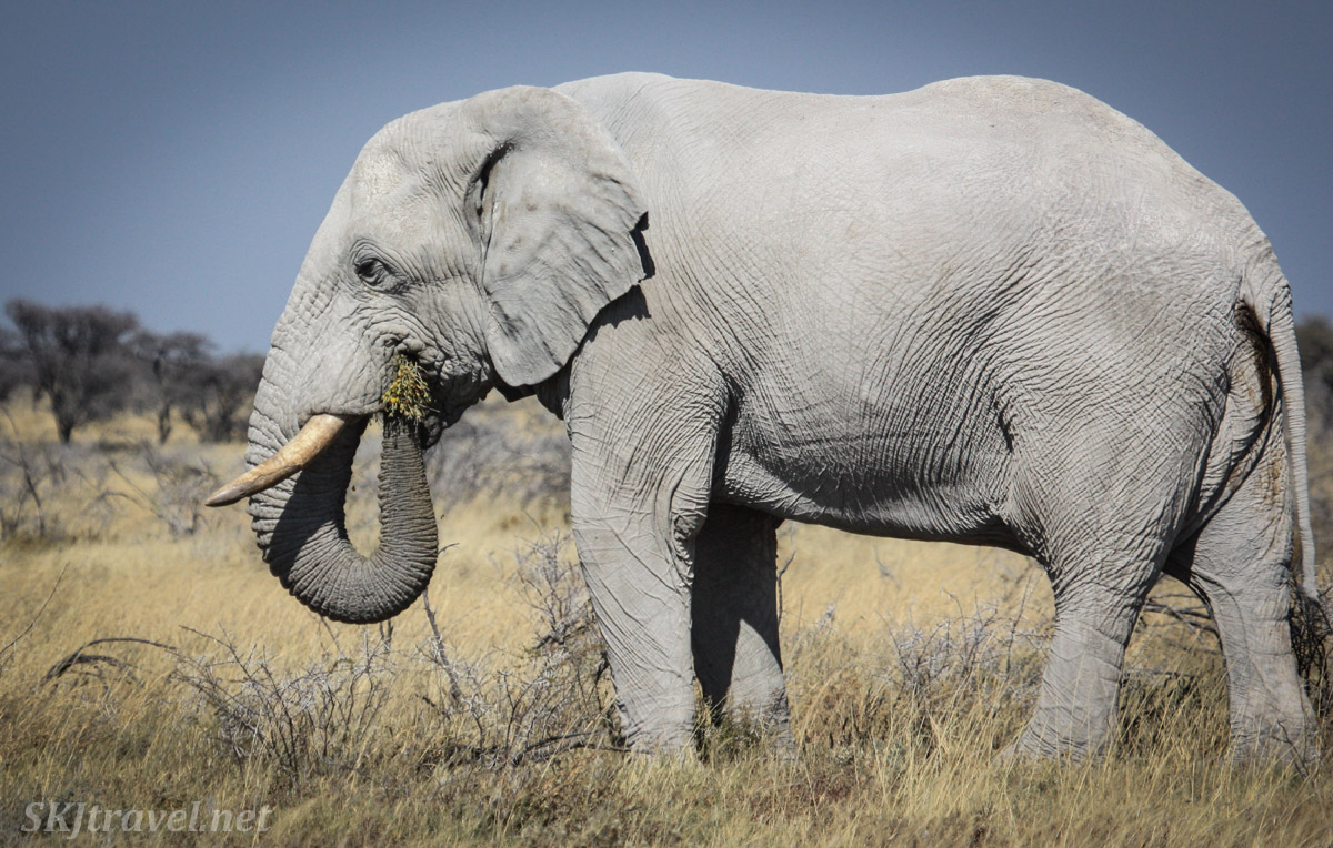Elephant munching grasses in Etosha national park, Namibia.