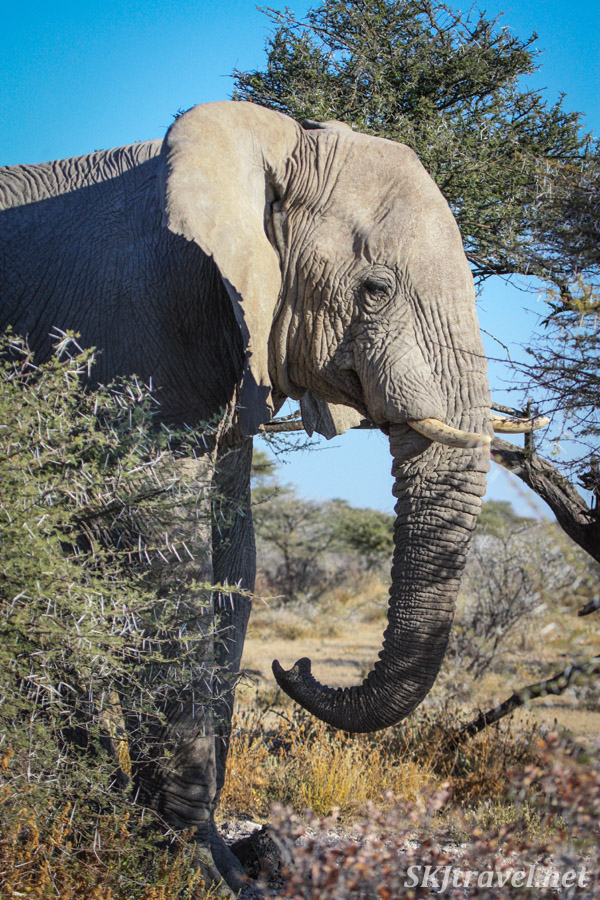 Elephant walking through scrubby acacia bushes in Etosha national park, Namibia.