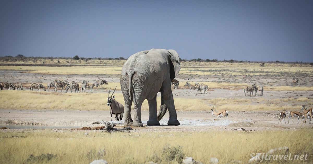Male elephant looms large, towering over other animals on the plains of Etosha national park, Namibia.