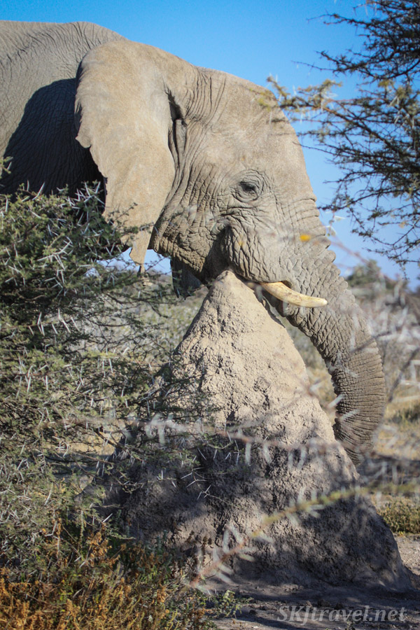 Elephant eating the top of a termite mound, Etosha national park, Namibia.