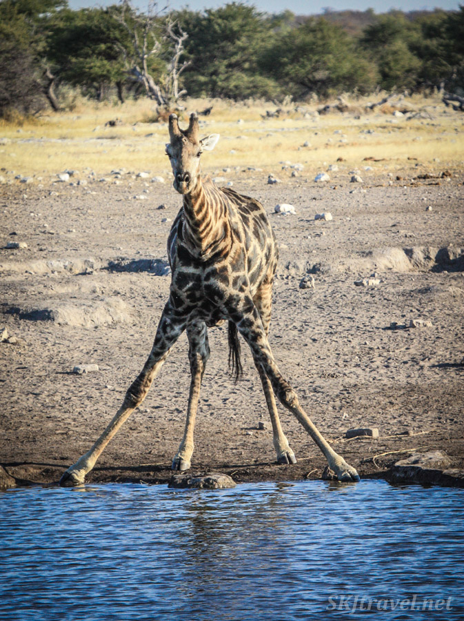 Young giraffe spreading apart front legs in preparation to drink from a water hole. Etosha National Park, Namibia.
