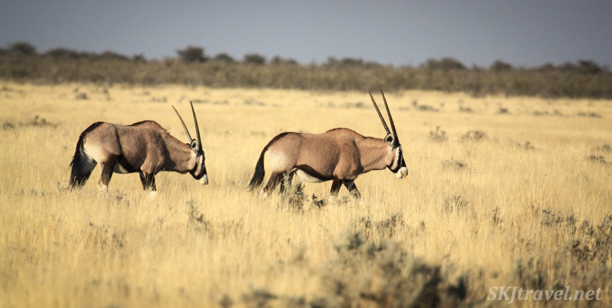 Pair of male oryx crossing the grasslands of Etosha national park, Namibia.
