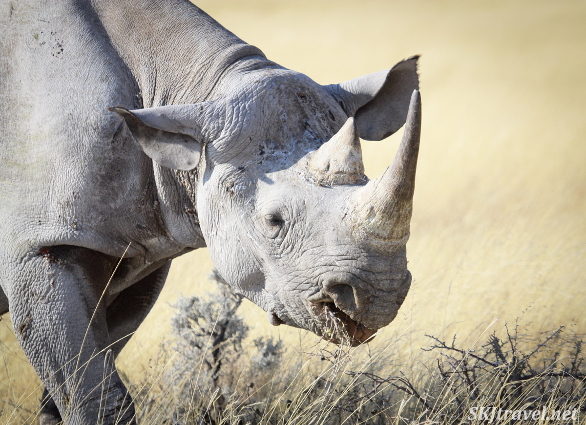 Close-up of a black rhino, Etosha national park, Namibia.