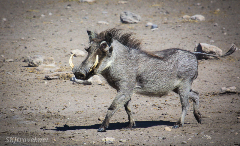 Warthog trotting to a water hole in Etosha national park, Namibia.