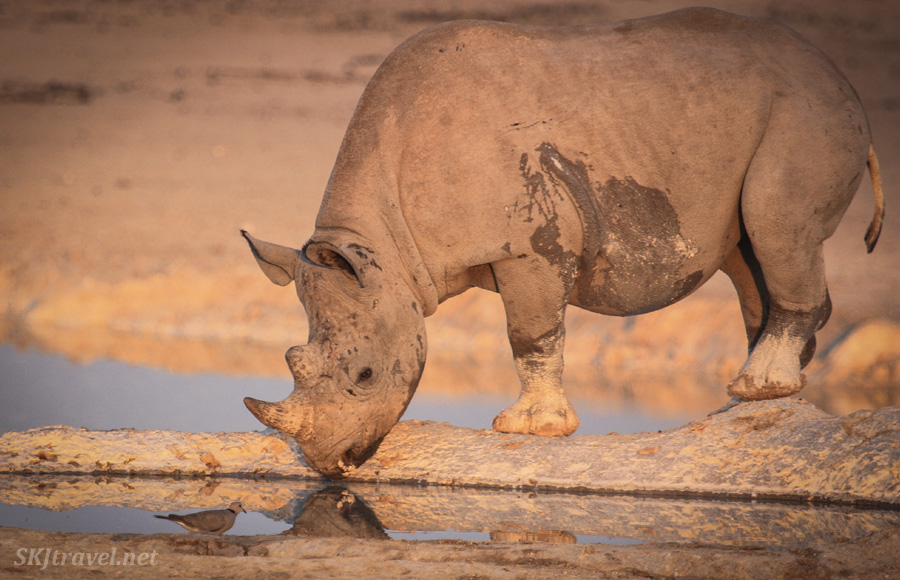 Young black rhino as his reflection at a water hole at sunset in Etosha NP, Namibia. #JustOneRhino