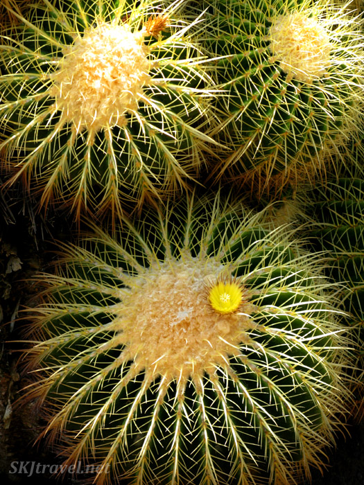 Golden barrel cactus ... makes for such amazing geometry. Huntington Botanical Gardens.