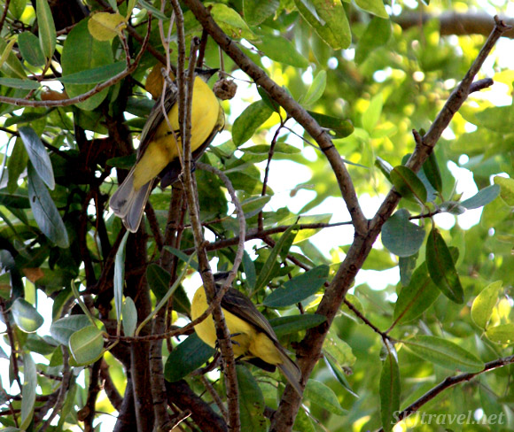 A pair of little black and yellow birds in the trees. Ixtapa, Mexico.