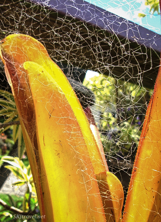 A chaotic spider web spans a plant in the botanical garden at the Lavender Gardens in Maui, Hawaii.