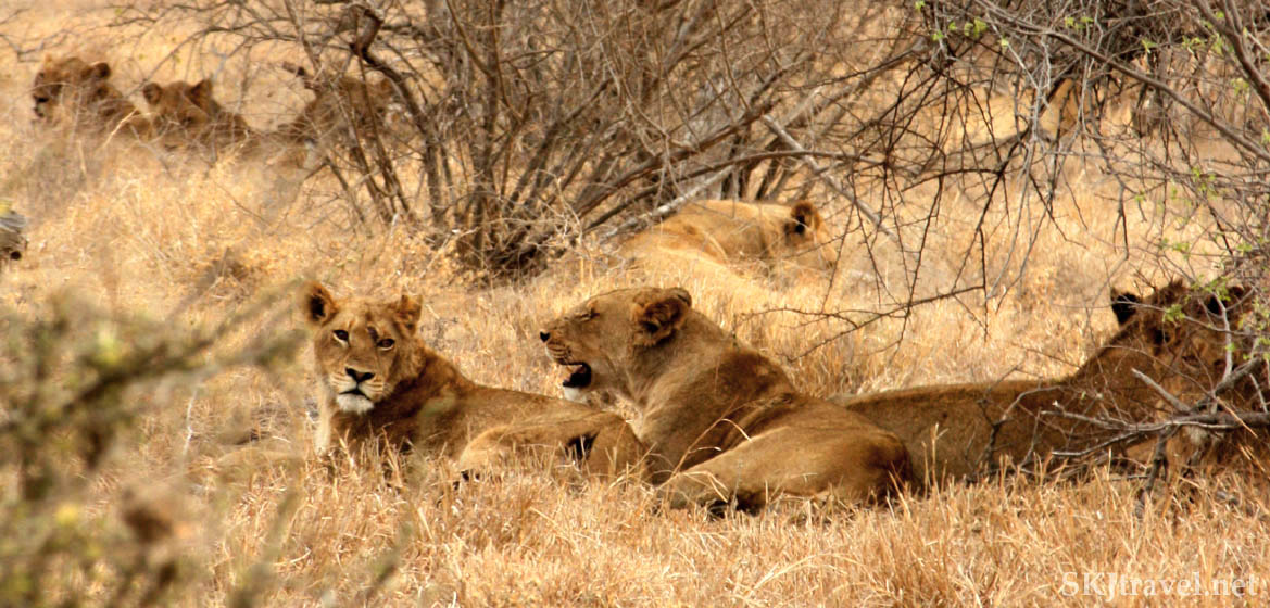 lionesses in a pride