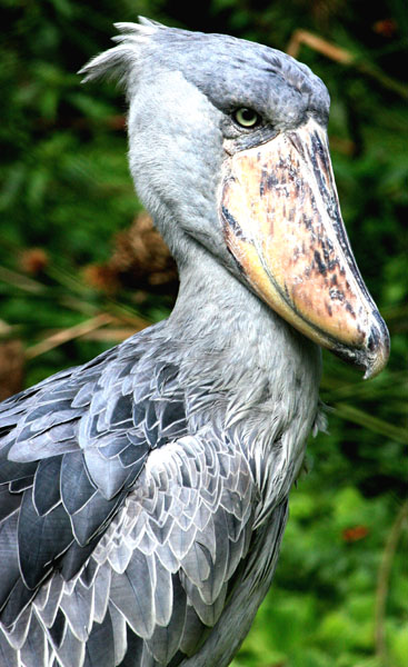 The magnificent shoebill stork. Uganda