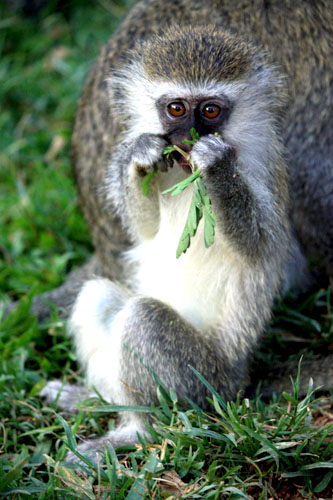Vervet monkey chewing some leaves. Uganda