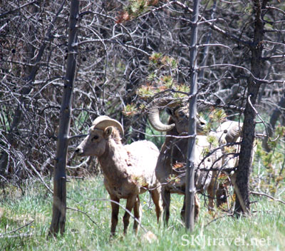 Dall sheep in a forest. Colorado